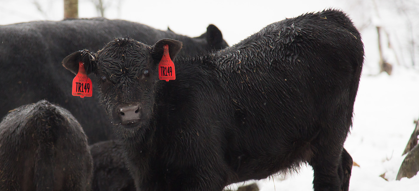 Tuckers Black Angus Ranch Beef 9